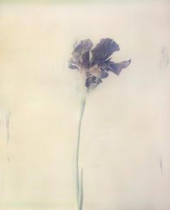 Iris Atropurpea 01W P