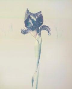 Iris Atropurpea 02W P