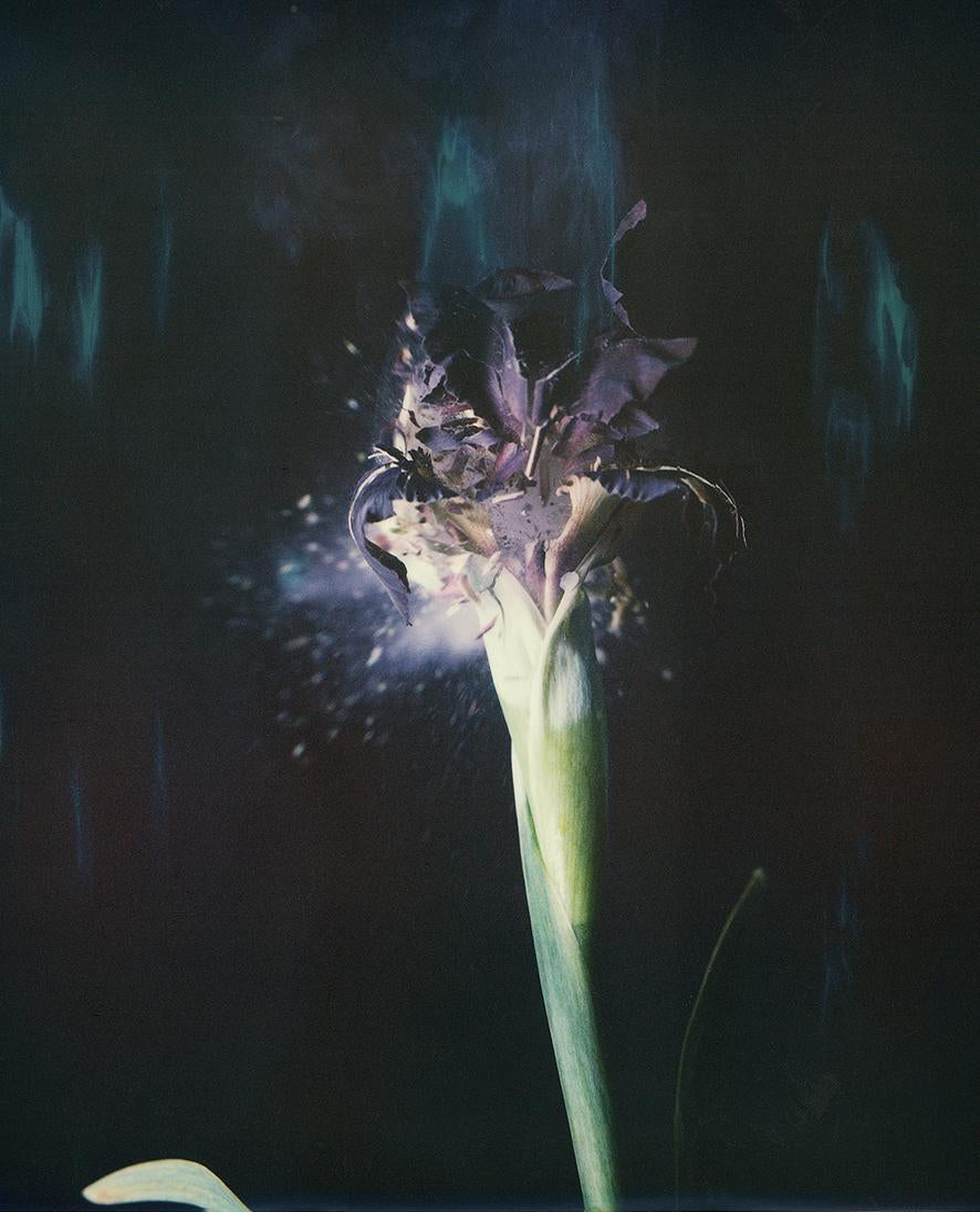 Iris Atropurpea 03W P