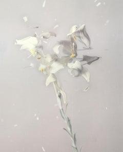 Lilium Candidum P01