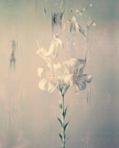 Lilium Candidum P02