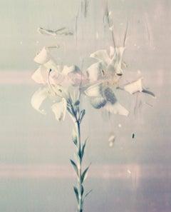 Lilium Candidum P03