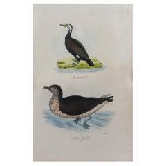 Original Antique Bird Print, Cormorant and a Skua Gull, circa 1850