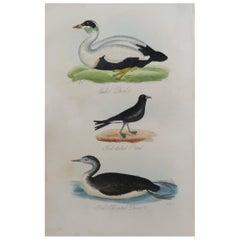 Original Antique Bird Print, Eider and Red Throated Diver, circa 1850