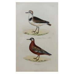 Original Antique Bird Print, Kentish Plover and Phalarope, circa 1850