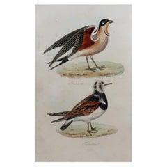 Original Antique Bird Print, Pratincole and Turnstone, circa 1850