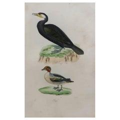 Original Antique Bird Print, Shag and Teal, circa 1850
