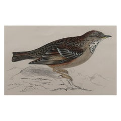 Original Antique Bird Print, the Alpine Accentor, circa 1870