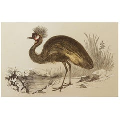 Original Antique Bird Print, the Balearic Crane, Tallis circa 1850