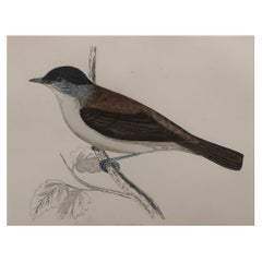 Original Antique Bird Print, the Blackcap, circa 1870