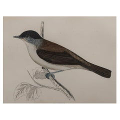 Original Antique Bird Print, the Blackcap, circa 1870