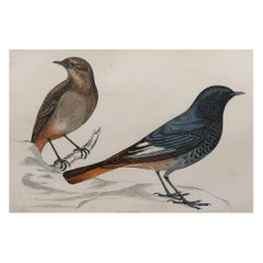 Original Antique Bird Print, the Blackstart, circa 1870