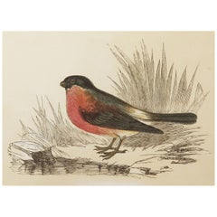Original Antique Bird Print, the Bullfinch, Tallis circa 1850
