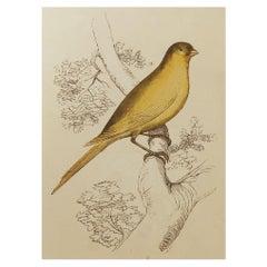 Original Antique Bird Print, the Canary Finch, Tallis, circa 1850