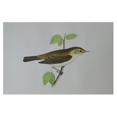 Original Antique Bird Print, the Chiff Chaff, circa 1850