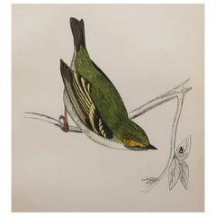 Original Antique Bird Print, the Dalmation Regulus, circa 1870