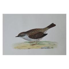 Original Antique Bird Print, the Dunnock, circa 1850