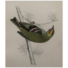 Original Antique Bird Print, the Firecrest, circa 1870