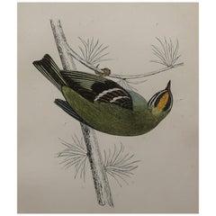 Original Antique Bird Print, the Firecrest, circa 1870