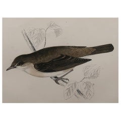 Original Antique Bird Print, the Garden Warbler, circa 1870