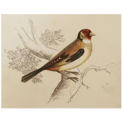 Original Antique Bird Print, the Goldfinch, Tallis C. 1850