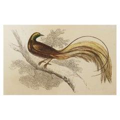 Original Antique Bird Print, the Great Emerald Bird of Paradise, Tallis C. 1850