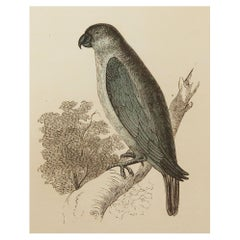 Original Antique Bird Print, the Grey Parrot, Tallis circa 1850