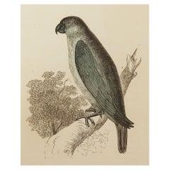 Original Antique Bird Print, the Grey Parrot, Tallis circa 1850