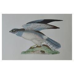 Original Antique Bird Print, the Hen Harrier, circa 1850