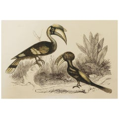 Original Antique Bird Print, the Hornbill, Tallis, circa 1850