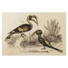 Original Antique Bird Print, the Hornbill, Tallis, circa 1850