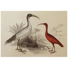 Original Antique Bird Print, the Ibis, Tallis circa 1850