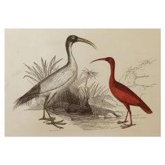 Original Antique Bird Print, the Ibis, Tallis, circa 1850
