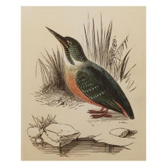 Original Antique Bird Print, the Kingfisher, Tallis circa 1850