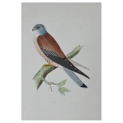 Original Antique Bird Print, the Lesser Kestrel, circa 1850
