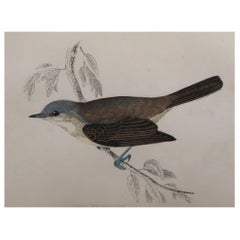 Original Antique Bird Print, the Lesser Whitethroat, circa 1870