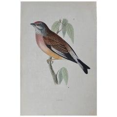 Original Antique Bird Print, the Linnet, circa 1850
