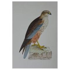 Original Antique Bird Print, the Marsh Harrier, circa 1850