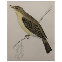 Original Antique Bird Print, the Melodious Willow Warbler, circa 1870