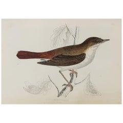 Original Antique Bird Print, the Nightingale, circa 1870