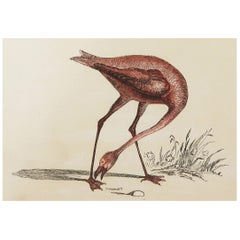 Original Antique Bird Print, the Pink Flamingo, Tallis, circa 1850