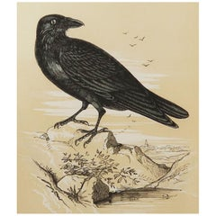 Original Antique Bird Print, the Raven, Tallis, circa 1850