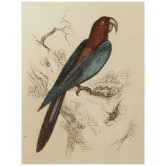 Original Antique Bird Print, the Red and Blue Macaw, Tallis circa 1850