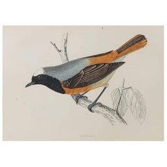 Original Antique Bird Print, the Redstart, circa 1870