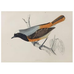 Original Antique Bird Print, the Redstart, circa 1870
