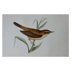 Original Antique Bird Print, the Reed Warbler, circa 1850