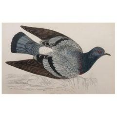 Original Antique Bird Print, the Rock Dove, circa 1870