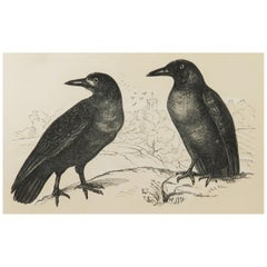 Original Antique Bird Print, the Rook / Crow, Tallis C. 1850