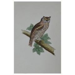 Original Antique Bird Print, the Scops-Eared Owl, circa 1850
