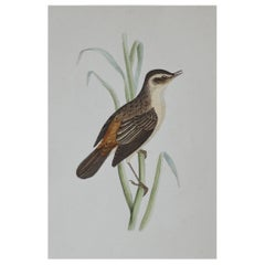 Original Antique Bird Print, the Sedge Warbler, circa 1850